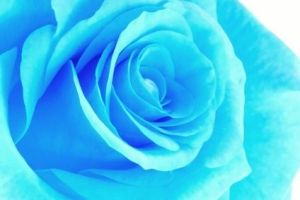 single-blue-rose-800x800