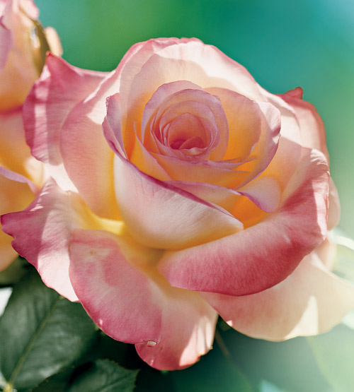 Diana Princess of Wales Rose
