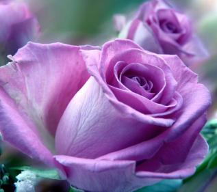 Purple-Roses-Nature-854x960