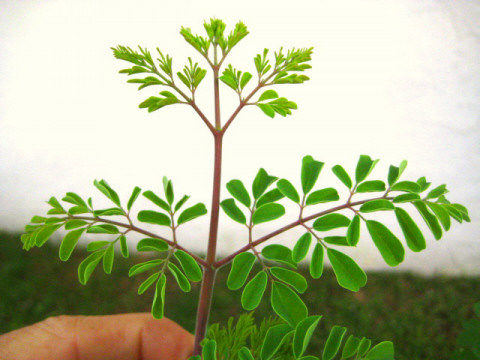 My_moringa_more_new_growth_9_23_08