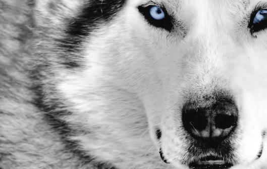 Siberian-Husky-Dog-4
